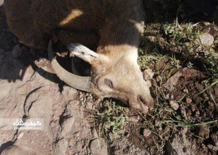 تلفات طاعون نشخوارکنندگان کوچک در البرز به ۹ راس رسید